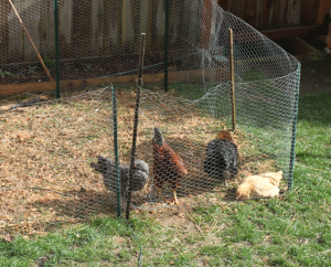 backyard chickens 300x242 Raising Backyard Chickens for Dummies